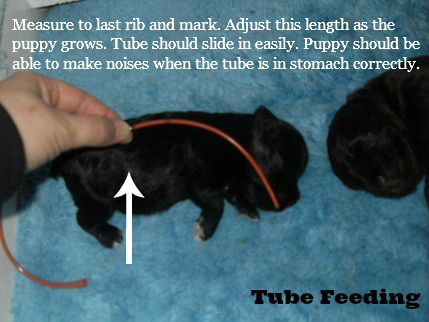 Tube Feeding Puppies Or Kittens Riggs Miniature Schnauzers