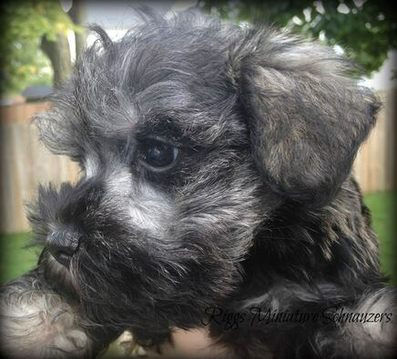 Riggs Miniature Schnauzers Akc Miniature Schnauzer Puppies For Sale