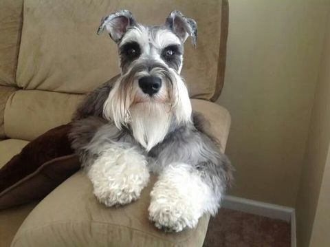 Puppy Pricing Riggs Miniature Schnauzers